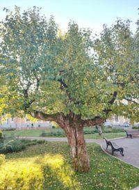 Эти яблони когда-то росли в саду у Храма Христа Спасителя. После 1917 сад ликвидировали, а яблони постепенно, вплоть до 1931 года, стали пересаживать в сквер у Большого театра, и к Тимирязевской академии.